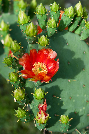 Prickly pear buds and flower